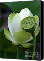 Lotus Bud Canvas Prints - New Beginnings Canvas Print by Sabrina L Ryan