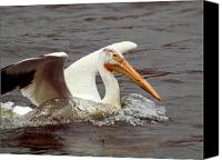 White Pelican Canvas Prints - Nice Landing Canvas Print by Thomas Young