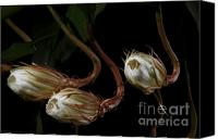 Cereus Canvas Prints - Night-Blooming Cereus 0b Canvas Print by Warren Sarle