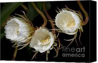 Cereus Canvas Prints - Night-Blooming Cereus 0c Canvas Print by Warren Sarle