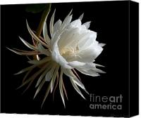 Cereus Canvas Prints - Night-Blooming Cereus 1 Canvas Print by Warren Sarle