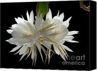 Cereus Canvas Prints - Night-Blooming Cereus 2 Canvas Print by Warren Sarle