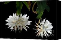 Cereus Canvas Prints - Night-Blooming Cereus 3 Canvas Print by Warren Sarle