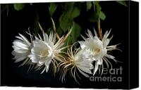 Cereus Canvas Prints - Night-Blooming Cereus 4 Canvas Print by Warren Sarle