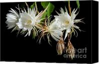 Cereus Canvas Prints - Night-Blooming Cereus 5 Canvas Print by Warren Sarle