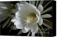 Cereus Canvas Prints - Night-Blooming Cereus Deep 1 Canvas Print by Warren Sarle