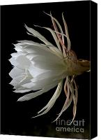 Cereus Canvas Prints - Night-Blooming Cereus Deep 3 Canvas Print by Warren Sarle