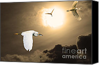 Snowy Egrets Canvas Prints - Night of The White Egrets . Partial Sepia Canvas Print by Wingsdomain Art and Photography
