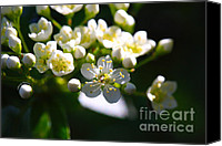 Tree Blossoms Canvas Prints - Ninebark Blooms Canvas Print by Cheryl Young