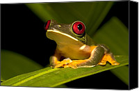 Red-eyed Frogs Canvas Prints - Nocturnal red-eyed tree Canvas Print by Roy Toft