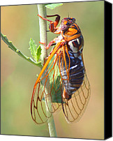 Cicada Canvas Prints - Noisy Cicada Canvas Print by Shane Bechler
