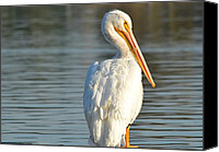 White Pelican Canvas Prints - Nonchalant Canvas Print by Fraida Gutovich