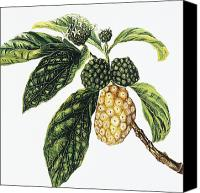 Bud Painting Canvas Prints - Noni Fruit Canvas Print by Hawaiian Legacy Archive - Printscapes