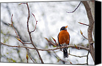 Singing Canvas Prints - North American Robin Canvas Print by Ron Day