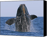 Whale Canvas Prints - North Atlantic Right Whale breaching Canvas Print by Tony Beck