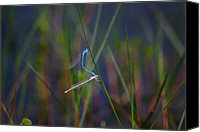 Bluet Canvas Prints - Northern Bluet Damselfly Canvas Print by Andrew McInnes