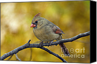 Indiana Autumn Canvas Prints - Northern Cardinal Female - D007849-1 Canvas Print by Daniel Dempster