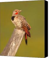 Woodpecker Canvas Prints - Northern Flicker Looking Back Canvas Print by Max Allen