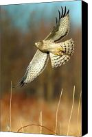 Nature Photo Canvas Prints - Northern Harrier Banking Canvas Print by William Jobes