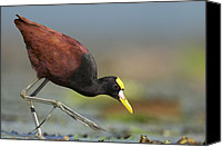 Lilly Pad Canvas Prints - Northern Jacana Foraging Costa Rica Canvas Print by Tim Fitzharris
