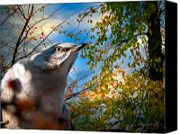 Auburn Canvas Prints - Northern Mockingbird Autumns Shadows Canvas Print by Bob Orsillo