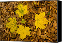 Forest Floor Canvas Prints - Norway Maple Leaves Canvas Print by Bob Gibbons