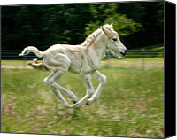 Wild Horse Canvas Prints - Norwegian Fjord Colt Running Canvas Print by Jeffrey L. Jaquish ZingPix.com