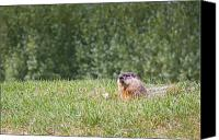 Groundhog Canvas Prints - Not a Rabbit Canvas Print by Michel Soucy
