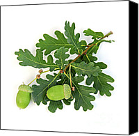Harvesting Canvas Prints - Oak branch with acorns Canvas Print by Elena Elisseeva