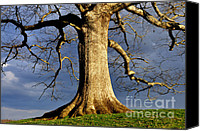Quercus Canvas Prints - Oak Tree and Storm Clouds Canvas Print by Thomas R Fletcher