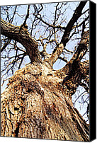 Gnarly Canvas Prints - Oak Tree Canvas Print by Larry Ricker