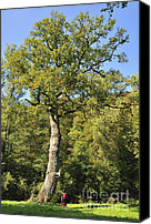 Quercus Canvas Prints - Oak tree Canvas Print by Matthias Hauser