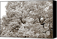 Quercus Canvas Prints - Oaks Canvas Print by Frank Tschakert
