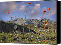Big Bend Canvas Prints - Ocotillo Fouquieria Splendens, Big Bend Canvas Print by Tim Fitzharris