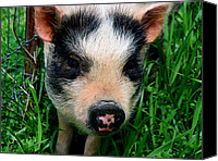 Potbelly Pig Canvas Prints - Oink-ing it up... Canvas Print by Elizabeth Gray