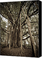 Monochrome Canvas Prints - Old Banyan Tree Canvas Print by Adam Romanowicz