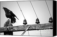 Aves Canvas Prints - Old Crow Canvas Print by Balanced Art