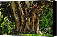 Beautiful Tree Canvas Prints - Old Fig Tree Canvas Print by Kaye Menner