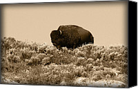 Buffalo Canvas Prints - Old Timer Canvas Print by Shane Bechler