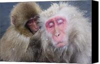Selection Canvas Prints - Older Snow Monkey Being Groomed By A Canvas Print by Natural Selection Anita Weiner