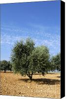 Olive Oil Canvas Prints - Olive tree in Provence Canvas Print by Bernard Jaubert