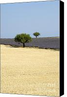 Traveller Canvas Prints - Olive trees. Provence Canvas Print by Bernard Jaubert
