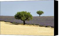 Traveller Canvas Prints - Olives tree in Provence Canvas Print by Bernard Jaubert