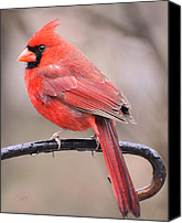 Cardinals. Wildlife. Nature. Photography Canvas Prints - On A Rainy Day Canvas Print by Kimberly Chason