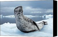 Image Setting Photo Canvas Prints - On Alert, An Adult Leopard Seal Scans Canvas Print by Paul Nicklen