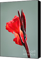 Canna Canvas Prints - On Fire Canvas Print by Suzanne Gaff