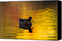 Waterfowl Canvas Prints - On Golden Waters Canvas Print by Mike  Dawson