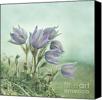 Pulsatilla Vulgaris Canvas Prints - On The Crocus Bluff Canvas Print by Priska Wettstein
