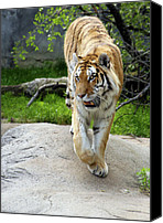 Detroit Tigers Canvas Prints - On the prowl Canvas Print by Gordon Dean II