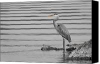Herons Canvas Prints - On the Rocks Canvas Print by Michel Soucy